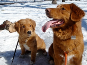 Toller_Pup_&_Sire