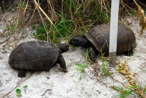 Two_male_Gopherus_polyphemus_tortoises_face-off._There_are_two_females_a_short_distance_behind_the_larger_male._-_Flickr_-_Andrea_Westmoreland